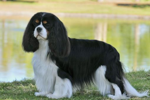 Arizona Cavalier King Charles Spaniel